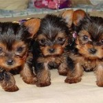 cute-yorkshire-terrier-puppies