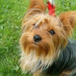 The Yorkshire Terrier – Mischievous and Loveable