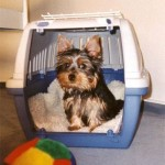 yorkshire-terrier-training-housebreaking